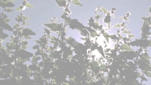 Video: Weleda Weiße Malve